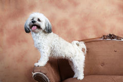 Havanese dog stands on love seat Royalty Free Stock Photography
