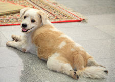 Havanese dog staring and relaxing. Mixbred havanese dog staring and relaxing on the floor Stock Photo