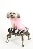 Havanese dog on stool with boa. Adorable white Havanese dog with a pink boa sits on a art deco style stool Royalty Free Stock Photos