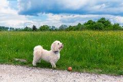 Havanese dog taking a walk Stock Photos