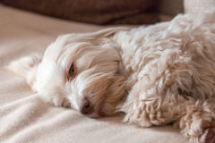 Havanese dog tired Royalty Free Stock Photos