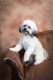 Havanese dog on vintage loveseat Stock Images