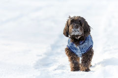 Havanese dog waiting and watching in snow royalty free stock image
