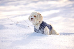 Havanese dog waiting and watching in snow royalty free stock photo