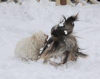 Havanese fäste ihop och den lhasa apsoen som spelar i snö royaltyfria bilder