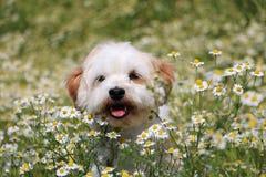 Havanese in a field of flowers Stock Photo