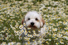 Havanese in a field of flowers. Havanese in a field of wild chamomile Stock Images