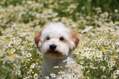 Havanese in a field of flowers. Havanese in a field of wild chamomile Royalty Free Stock Photos