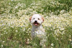 Havanese in a field of flowers. Havanese in a field of wild chamomile Royalty Free Stock Photo