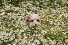 Havanese in a field of flowers. Havanese in a field of wild chamomile Royalty Free Stock Image