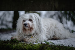 Havanese in the forest Stock Photos