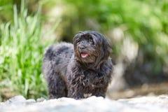 Havanese-Hund, der auf Sand in dem Fluss steht stockfoto