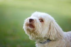 Havanese-Hund, der bevor dem Abstreifen schaut Stockfotografie