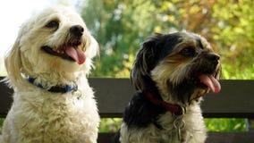 Havanese-Hunde sitzen auf einer Bank Stockbild