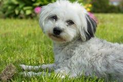 Havanese - kleine hond die in weide liggen Royalty-vrije Stock Afbeeldingen