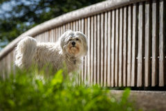 Havanese looks Royalty Free Stock Images