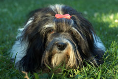 Havanese lying in the grass Stock Images