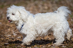 Havanese / Maltese Mix. A Snow White Havanese / Maltese hybrid runs very pride through the picture. In HIntergrund is deciduous Royalty Free Stock Photo
