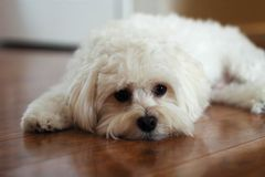Puppy Dog Eyes. A Havanese Maltese puppy stares at the camera Royalty Free Stock Photos