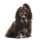Havanese panting, facing, sitting, isolated Royalty Free Stock Photography