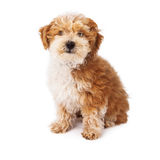 Havanese Poodle Mix Dog Stock Photos