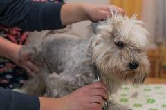 Havanese przy psim fryzjerem - zakończenie Obraz Royalty Free