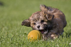 Havanese puppy. A havanese puppy (Merlin) playing with his ball Royalty Free Stock Photography