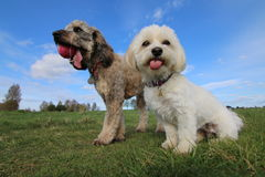 Havanese puppy and cockapoo dog stock photography