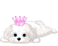 Havanese Puppy with crown. A cute white Havanese puppy with crown laying down stock illustration