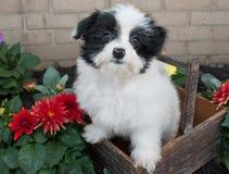 Havanese Puppy Stock Image