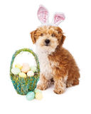 Havanese Puppy Easter Bunny Stock Image