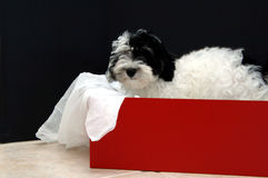 Havanese puppy gift Stock Photography