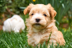 Havanese puppy sitting in grass looking into the camera stock image