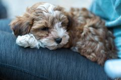 Havanese puppy sitting on the lap of a woman. Low deph of field. royalty free stock photos