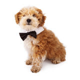 Havanese Puppy Wearing Bow Tie Stock Photography