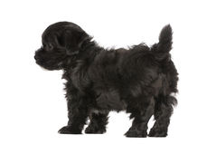 Havanese puppy (8 weeks old) Stock Photography