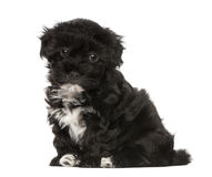Havanese puppy (8 weeks old) Stock Photos