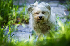 Havanese run on the banks Royalty Free Stock Photography