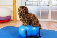 Havanese si siede su un dispositivo di addestramenti in un ufficio animale della fisioterapia immagine stock
