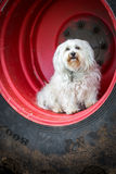 A Havanese sits in the wheel Stock Image