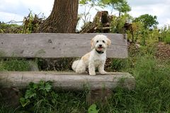 Havanese is sitting on a wooden bench stock photography