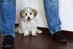 Havanese szczeniak ono ma w bezpieczeństwie między nogami jego właściciel zdjęcia stock