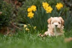 Havanese szczeniaka obsiadanie w trawie patrzeje w kamerę obrazy royalty free