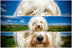 Havanese Triptych Stock Photography