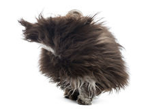 Havanese in the wind, isolated Royalty Free Stock Images
