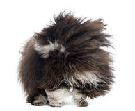 Havanese in the wind, isolated Stock Photos