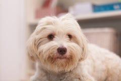 Havanesehond met een been Royalty-vrije Stock Foto's