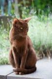 Havanna棕色暹罗语 库存图片