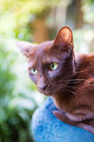 Havanna brown siamese Royalty Free Stock Image