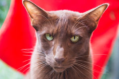 Havanna brown siamese Stock Photography